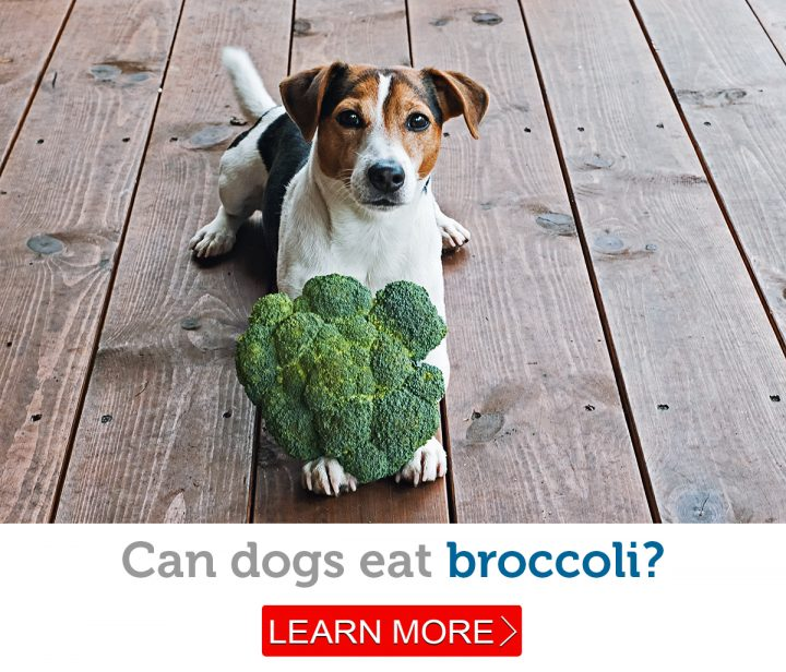A bright eyed Jack Russel Terrier sits with a head of broccoli between his paws