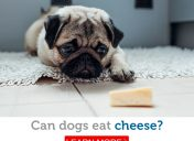 Is it safe for dogs to eat cheese?