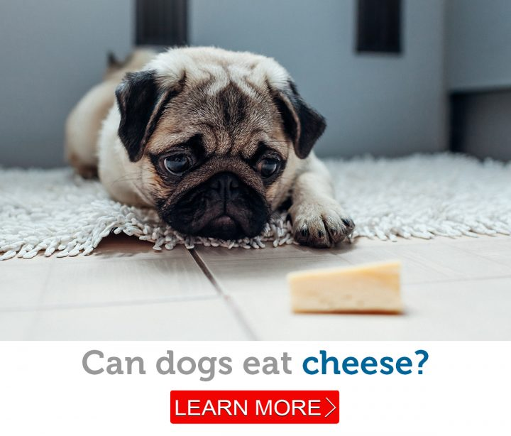 A cute little pug looks longingly at a piece of cheese