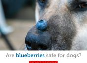 Is it safe for dogs to eat blueberries?