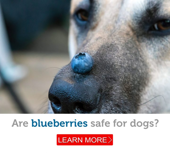 A German shepherd dog balances a blueberry on his nose