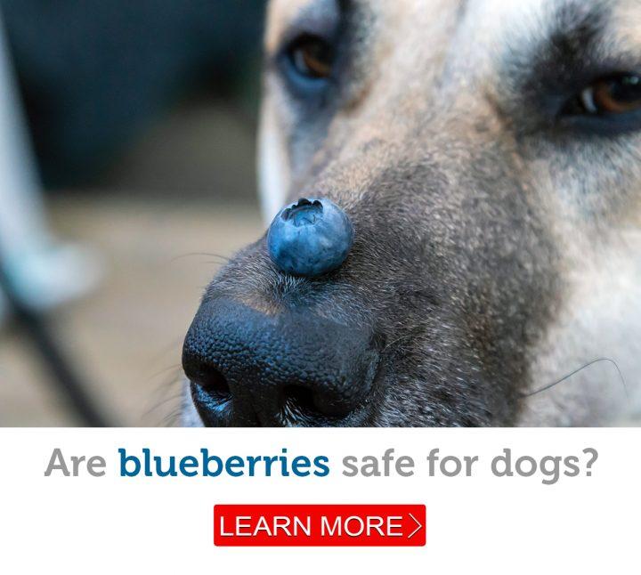 A German shepherd dog balances a blueberry on his nose