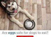 Can dogs eat eggs? Raw or cooked? And should I worry about salmonella?