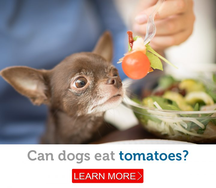 An adorable Chihuahua eagerly eyes a cherry tomato.