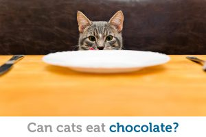 Can cats eat chocolate? Here's the scoop!