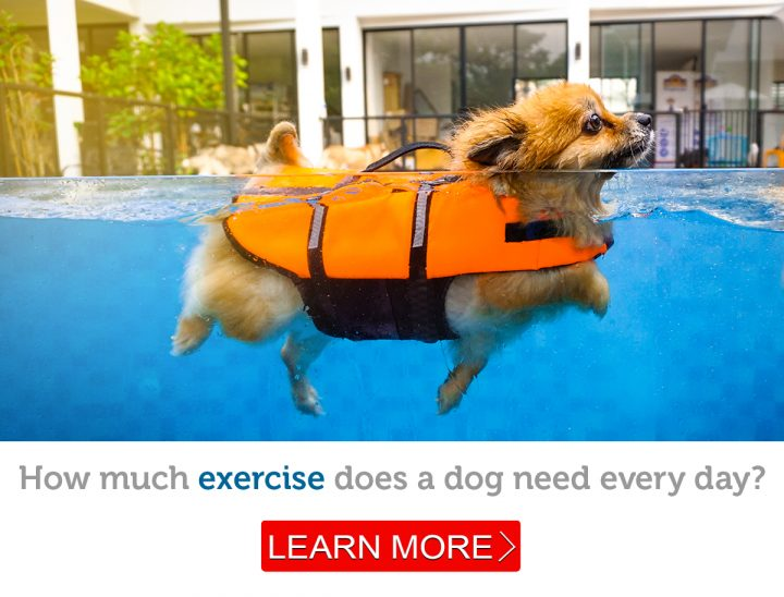 A cute little dog in a pet life jacket goes for a swim