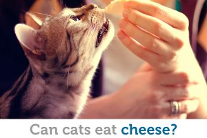 Most cats love cheese, but is it a healthy treat?