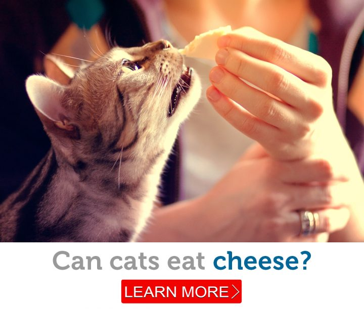 A beautiful tabby cat nibbles a piece of cheese