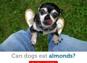 Oh nuts! Is it safe for dogs to eat almonds?