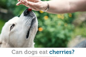 Are cherries safe for dogs to eat?