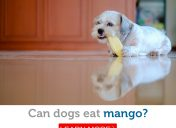 Is it safe for dogs to eat mango?