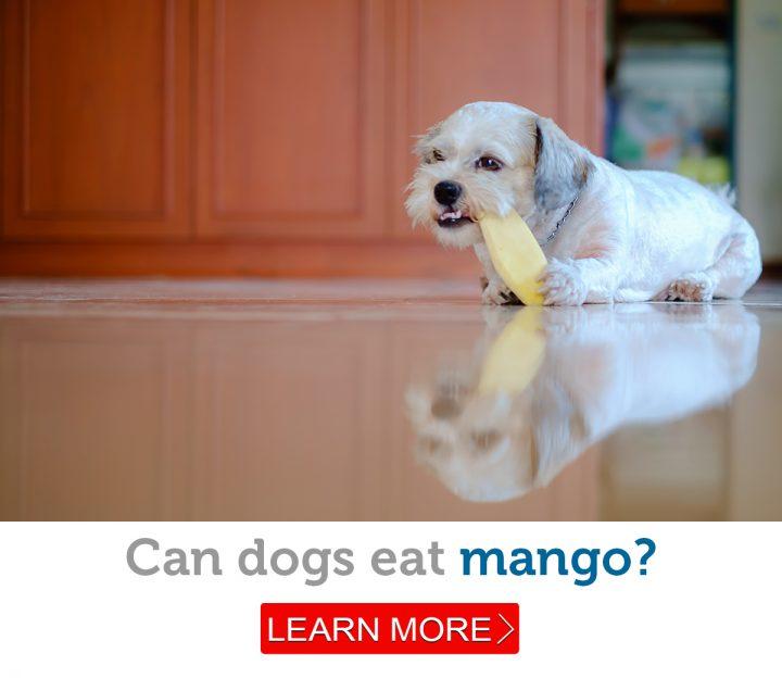 A cute, fluffy dog enjoys a piece of mango