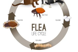 What do fleas look like? How to recognize them on your pet