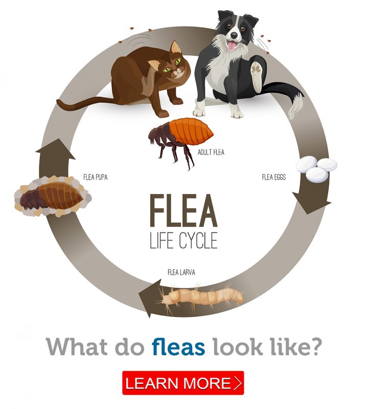 An illustration of the flea life cycle