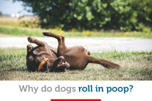 Why dogs like to roll in poop (and how to stop it!)
