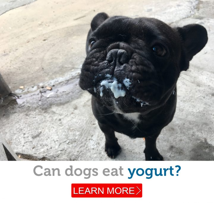 A French Bulldog's messy face makes it clear he's gotten into the yogurt
