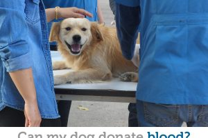 Your dog could be a hero: about canine blood donation