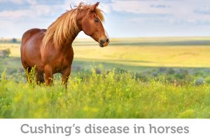 Cushing's disease in horses: symptoms, causes, and treatment