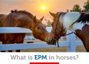 Everything you need to know about EPM in horses