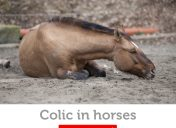 Colic in horses: symptoms, prevention, and treatment