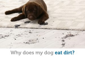 Why dogs eat dirt (and how to stop the behavior)