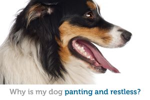 Panting and restlessness in dogs: common causes
