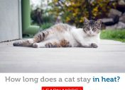 Key facts about the cat heat cycle