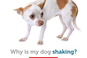 Possible reasons for shivering or shaking in dogs