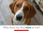 Top 4 reasons your dog stares at you