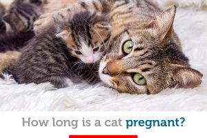 How long is a cat pregnant? The facts about feline pregnancy